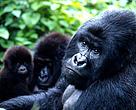 Dyr Gorilla Congo Skov Regnskov