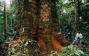 Gabon Skov Tømmer Træ