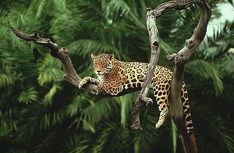 Brasilien Dyr Jaguar Sydamerika Regnskov / ©: Y.-J. Rey-Millet / WWF