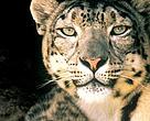 WWF - Sneleopardens SOS