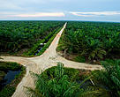 A view over the palm oil plantation, photograped from a fire tower, Musim Mas, Riau, Sumatra. The palm oil plantation is owned by the Indonesian palm oil producer Musim Mas and has been certified according to RSPO criteria for sustainable palm oil production.