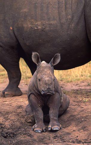 Enkelt horn afrikanske dyr