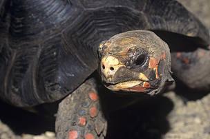 Rødfodet Skovskildpadde