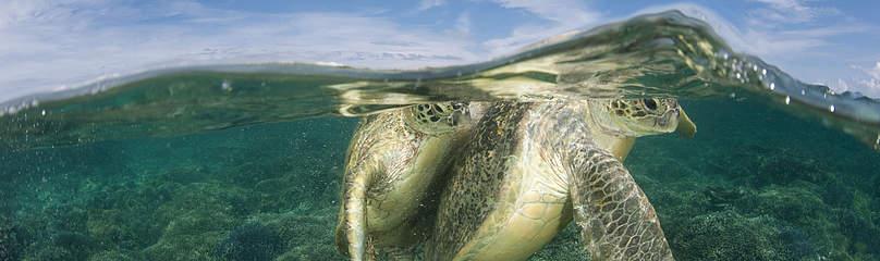 Havskildpadde Dyr Hav Fiskeri Koral Koralrev  / ©: Jürgen Freund / WWF