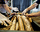 Customs officials in Suvarnabhumi discover a shipment of African elephant tusks from Mozambique. Suvarnabhumi is a major hub for both wildlife and drug trafficking, Thailand.